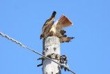 Resident red tail taking off from highline.