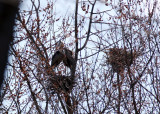 Great Blue Herons on nest