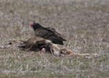 Turkey vulture on deer.