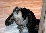 First Osprey release
