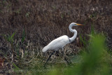 Looking for egrets, found whooping cranes.