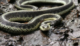 FW snake.