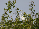 Some egrets were in the trees.