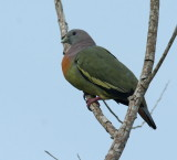 Pink-necked Pigeon