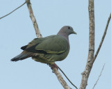 Pink-necked Pigeon, female