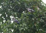 Purple-backed Starlings