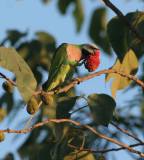 Red-breasted Parakeet, male