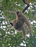 White-handed Gibbon, pale morph