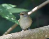 Small Niltava, female