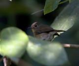 Hill Blue Flycatcher, female