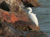 Chinese Egret