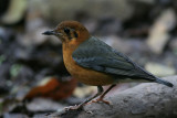 Orange-headed Thrush, juvenile