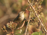 Greenish Warbler (two-barred)
