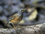 Eye-browed Thrush, male