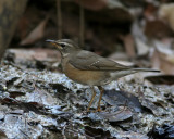 Eye-browed Thrush, female