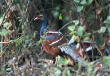 Hume's Pheasant, male