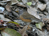 Eye-browed Thrush, male