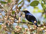 Asian Bluebird, male