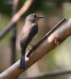Tickell's Flycatcher, female