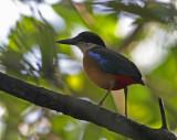Mangrove Pitta