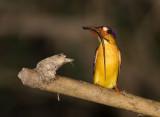 Black-backed Kingfisher