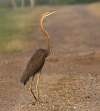 Purple Heron, juvenile