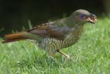 Satin's Bowerbird, female