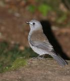 Grey Shrike Thrush