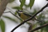 Crested Shrike-Tit