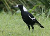 Australian Magpie, adult