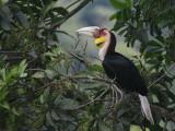 Wreathed Hornbill, juvenile