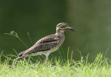 Northern Thick-knee
