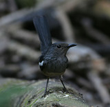 Magpie Robin, female