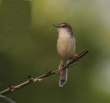 Cisticolas, Prinias,  Gerygones and Whistlers