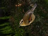 Rufous-winged Fulvetta