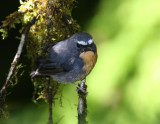 Snowy-browed Flycatcher, male