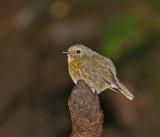 Snowy-browed Flycatcher, female