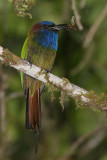 Purple-bearded Bee-eater
