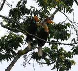Red-knobbed Hornbills