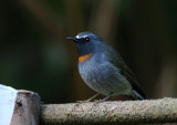 Rufous-gorgetted Flycatcher