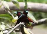 Black-red Broadbill