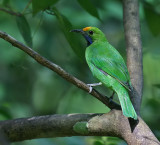 Golden-fronted Leafbird