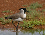 Charadriidae (Lapwings, Plovers, Wrybill)