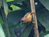 White-browed Piculet