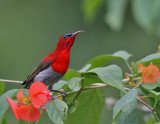 Sunbirds and Flowerpeckers