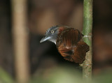 Grey-headed Babbler