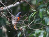 Short-billed Minivet