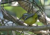 Black-eared Shrike Babbler