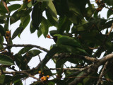 Greater Leafbird