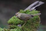 Raddes Warbler